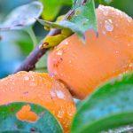 柿の皮のむき方・種の取り除き方