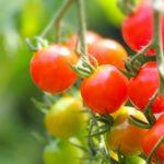ミニトマトの種類別特徴