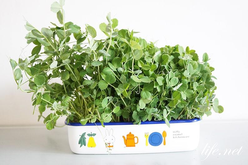 豆苗の育て方と再生栽培方法。切る位置や水加減の6つのコツを紹介。