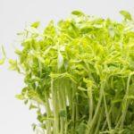 豆苗の育て方と再生栽培方法。切る位置や水加減のポイントを紹介。